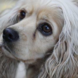 Les chiens, ces grands communicants