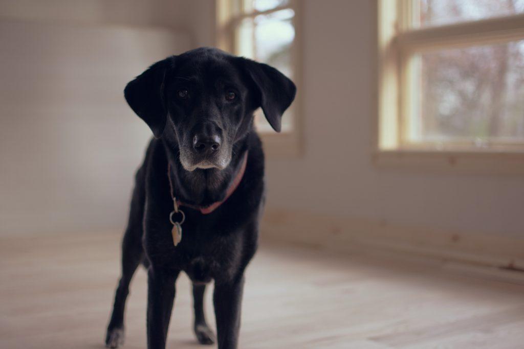 labrador noir en maison triste