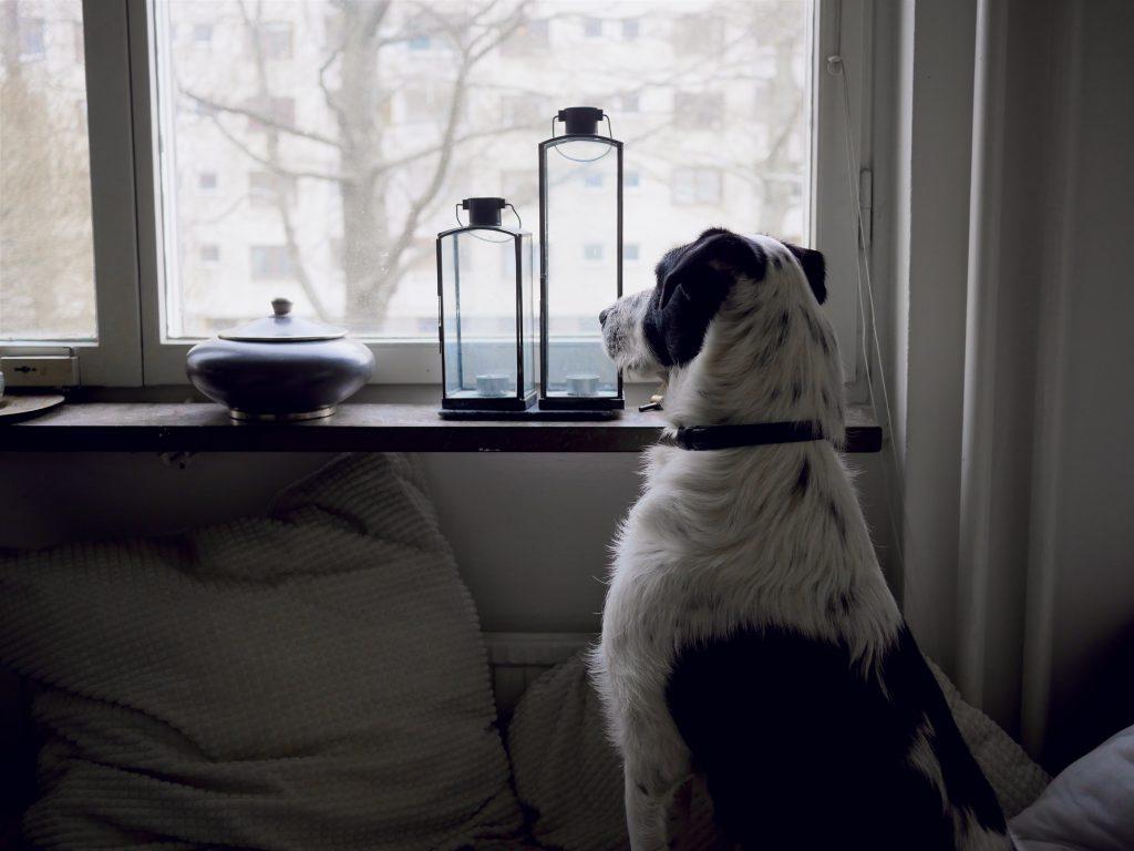 Un chien sur un canapé qui regarde dehors