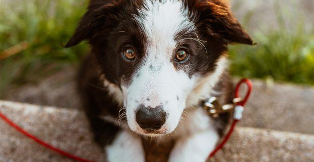 Quels traitements pour soigner une rupture des ligaments croisés chez le chien ?